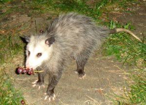 opossum avec un raisin